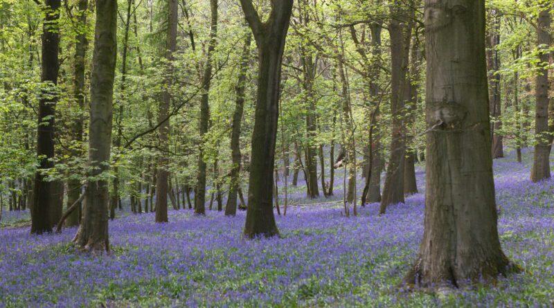 Bloei wilde hyacinten (Kemmelberg, België)